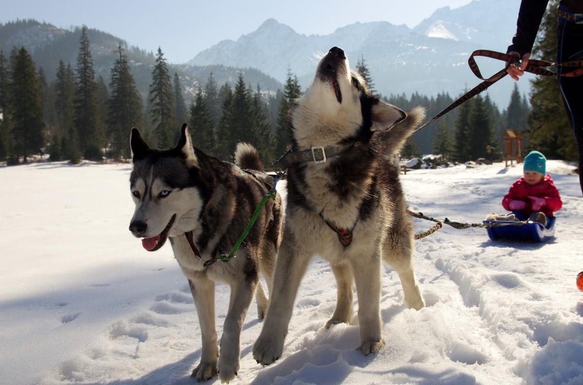 husky_sled_dogs_adamczak-667984 (1)